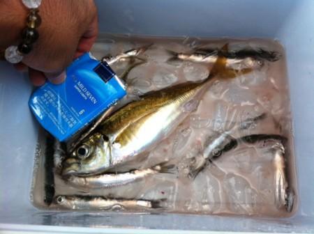 でかいアジ@本牧海釣り施設