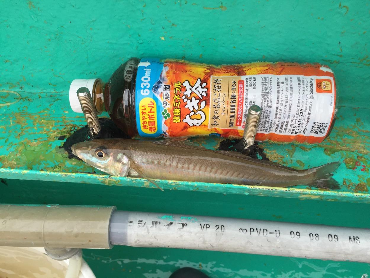 台風後でシロギス釣れすぎィ! 58匹@富士丸